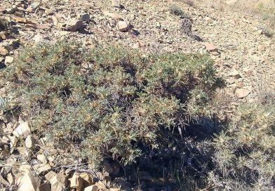 Astragalus Gummifer Gum