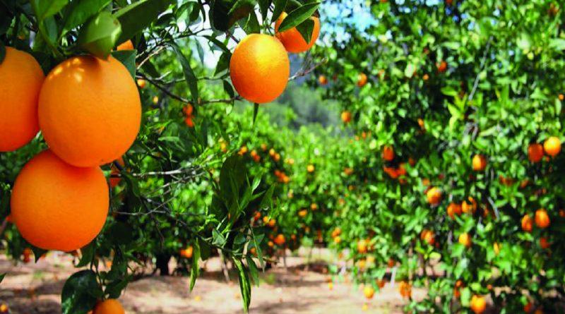 Coating for fresh Citrus Fruits